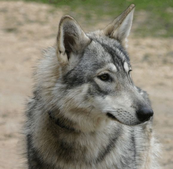 Northern Inuit (Tory and my ideal dog).  Half German Shepherd, half Malamute.  Unfortunately, they are pretty much only bred in the UK.