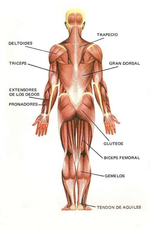 Actividades Para Ninos Preescolar Primaria E Inicial Fichas Didacticas Del Cuerpo Humano Para Im Musculos Del Cuerpo Humano Musculos Del Cuerpo Cuerpo Humano