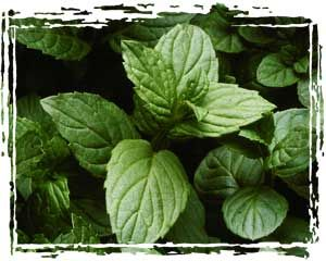 How to take care of and propogate mint gardening - How to plant a flower garden for dummies ...