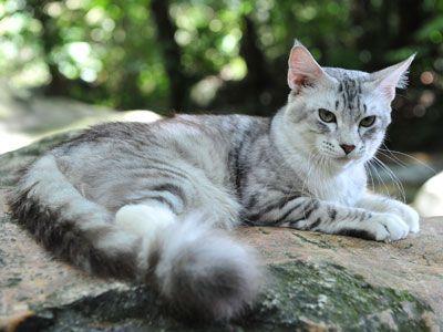 Stream Flight She Cat Silver Tabby Cat Grey Tabby Cats Cat With Blue Eyes