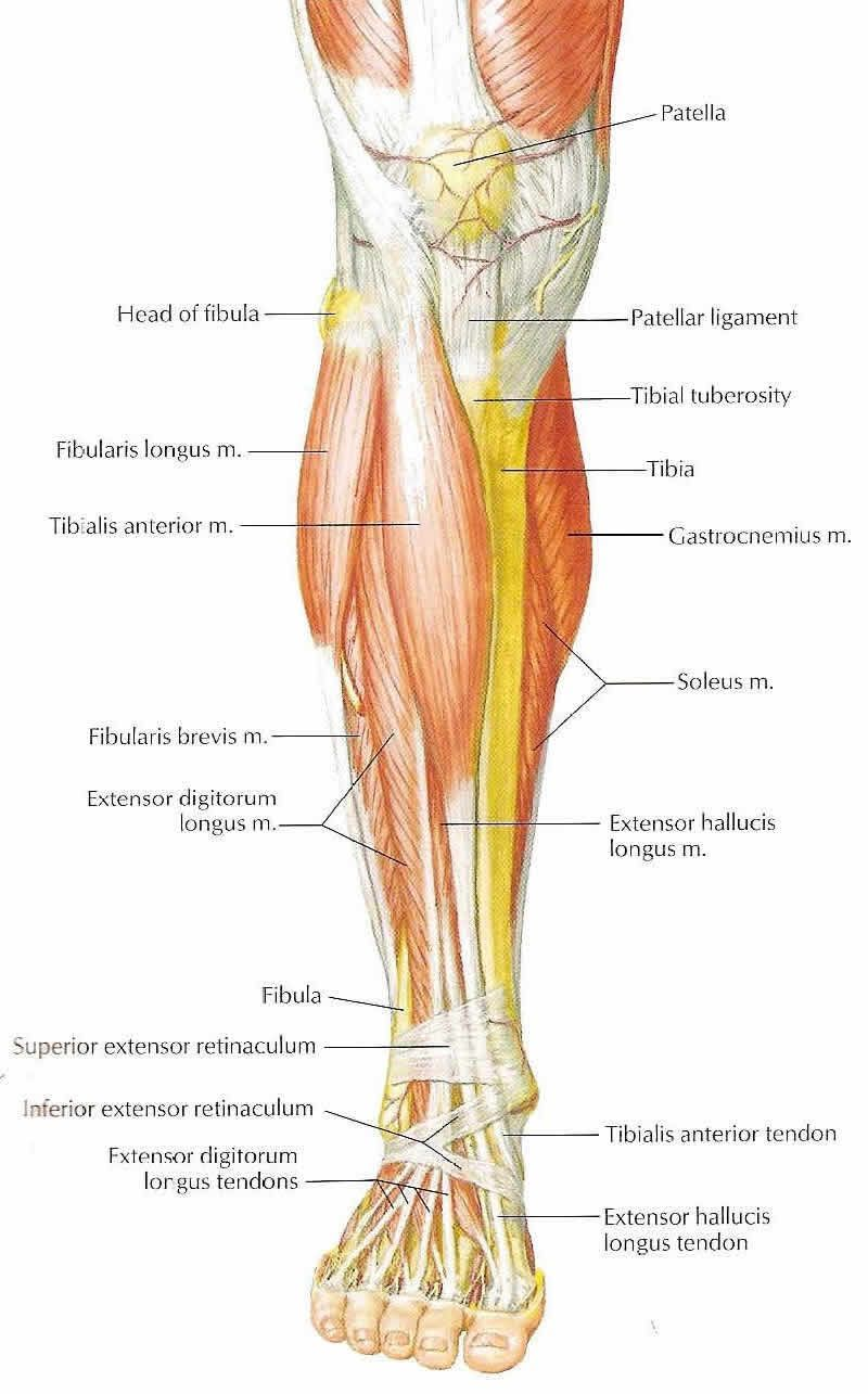Front Lower Leg Muscles | Let\'s work our way through some lower limb ...