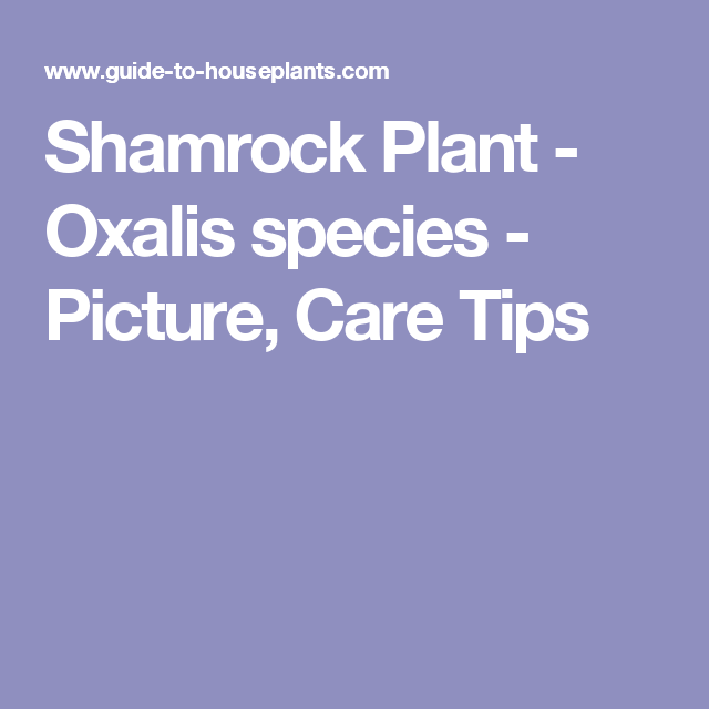 Shamrock Plant - Oxalis species - Picture, Care Tips
