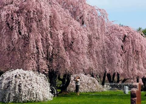 Central Kentucky Springs Into Summer Weeping Cherry Tree Wisteria Tree Weeping Trees