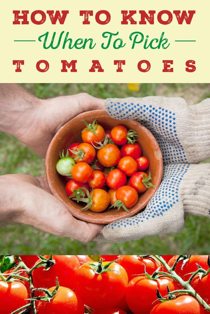 How To Know Exactly When Pick Tomatoes Vegetable