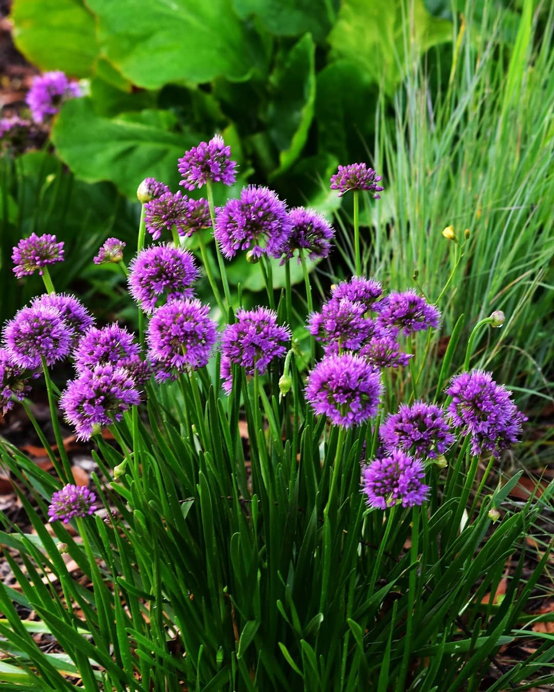 Allium millennium has been given the award for best perennial of allium millennium has been given the award for best perennial of the year by the perennial plant association in usa it is a very long flowering allium to mightylinksfo