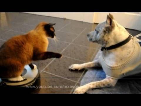 Astounding Badass Cat On Roomba Slaps Pitbull Video Cats Cat On Download Free Architecture Designs Scobabritishbridgeorg