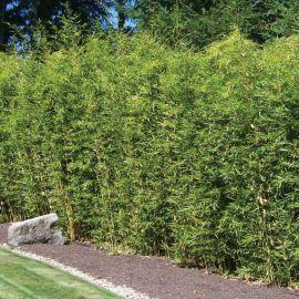 bambou tra ant pseudosasa japonica bambous pinterest bambou pepiniere en ligne et les. Black Bedroom Furniture Sets. Home Design Ideas