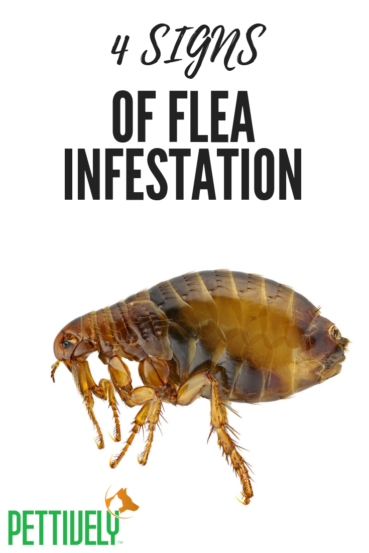 4 Signs Your Pet is Fighting Off A Flea Infestation Cat