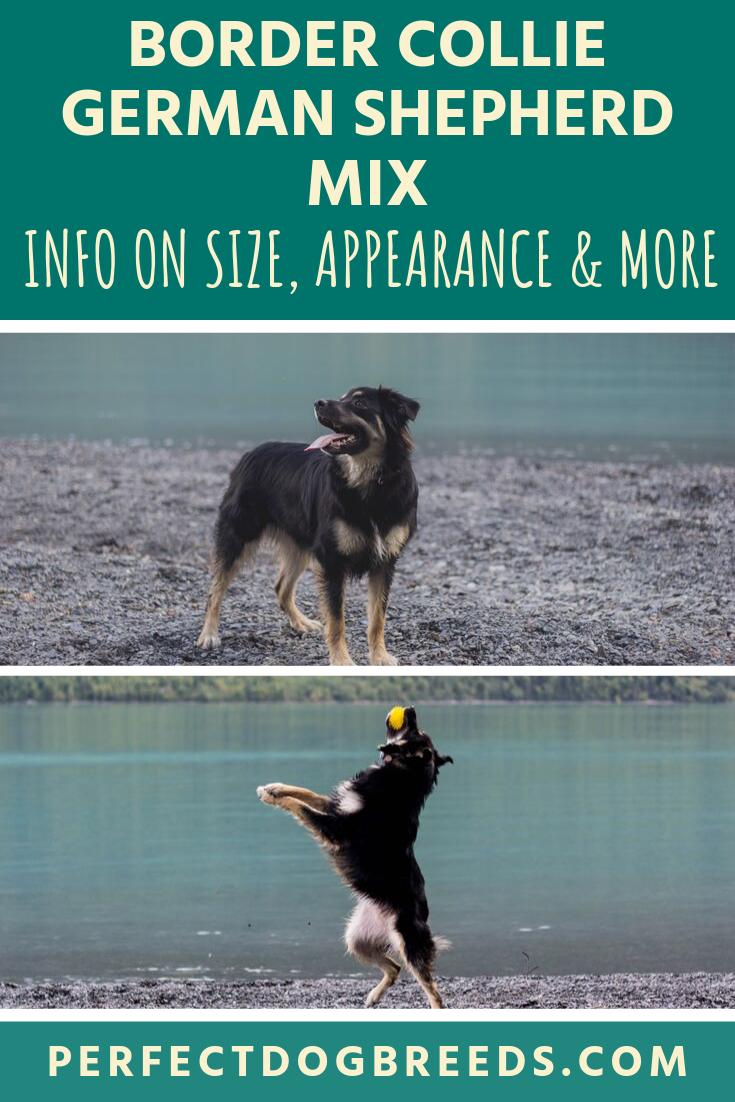 Border Collie German Shepherd Mix Size In 2020 Border Collie Best Dogs For Families German Shepherd Mix