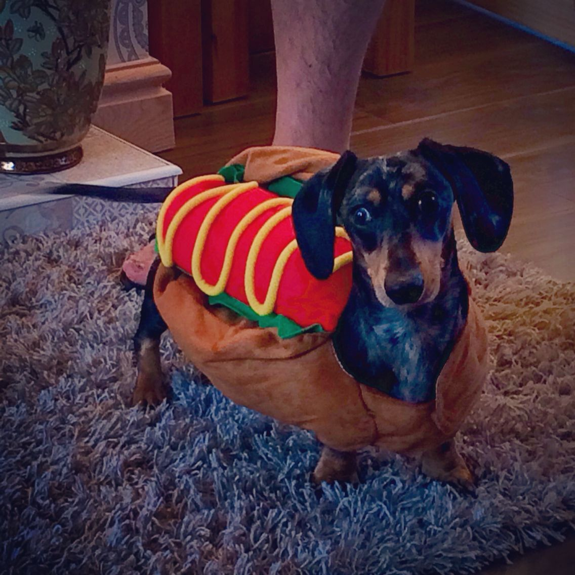 My lovely dachshund kenny being a hotdog dachshund dog general