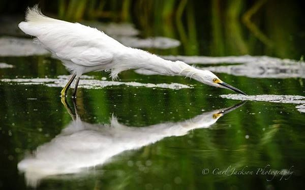 An immature Snowy Egret on the hunt in Irvine, California is beautifully reflected in Carl Jackson's photo.