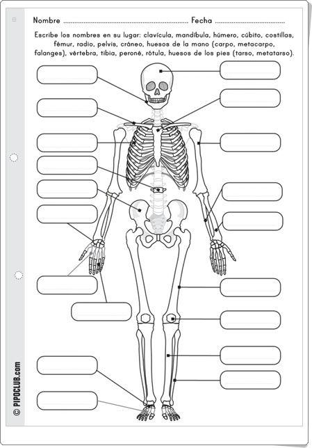 Huesos del cuerpo humano (Pipoclub.com) …   Pinteres…