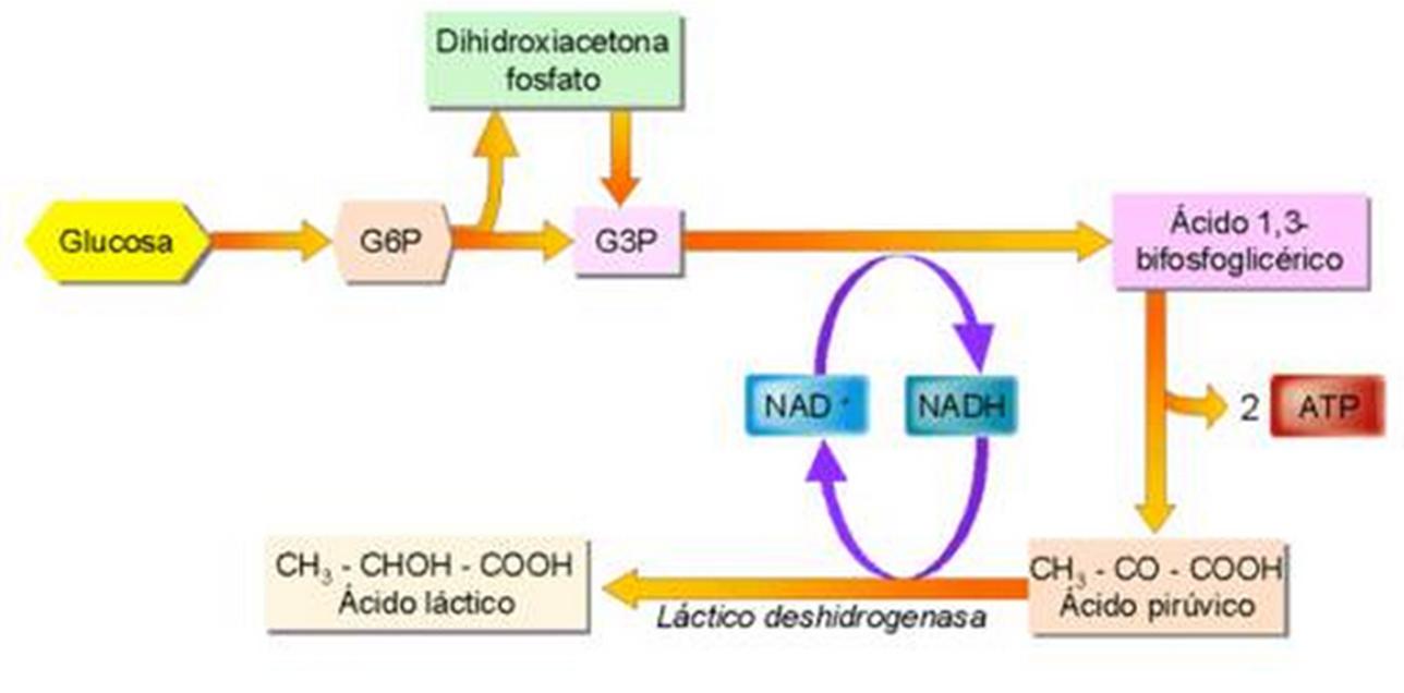 Glucolisis anaerobia | Glucolosis | Pinterest