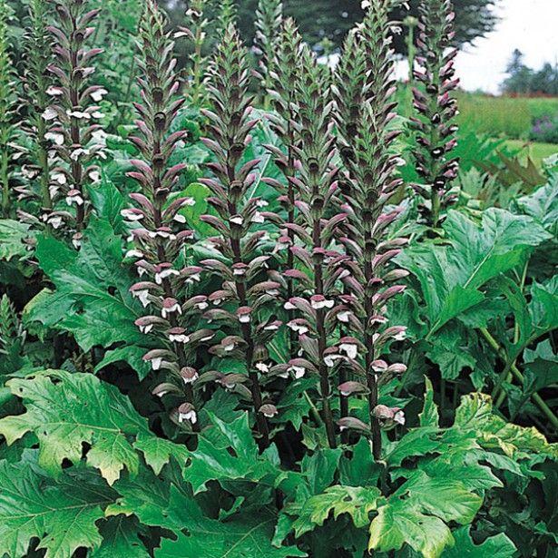 Acanthus mollis - Acanthe à feuilles molles | Vivaces ...