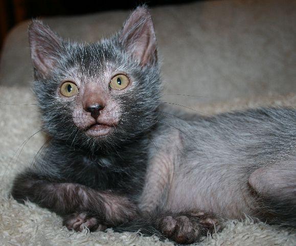 Werewolf Kitties Ezeebuxs Werewolf Cat Lykoi Cat Cat Breeder