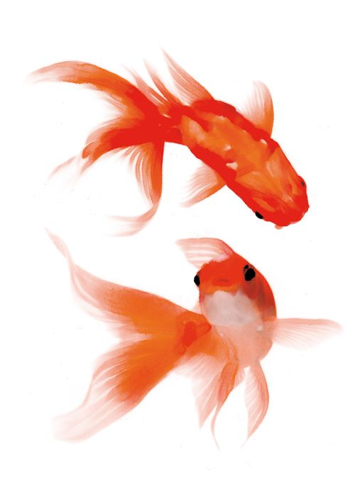 Poissons i l l u s t r a t i o n a n i m a for Poisson rouge koi