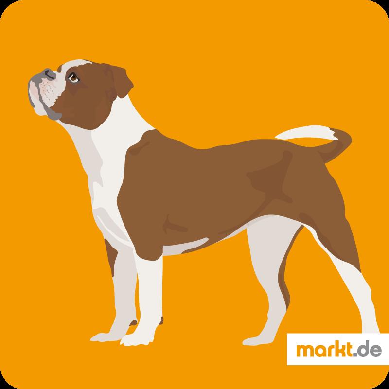 Continental Bulldog Aussehen Zucht Charakter Animaux