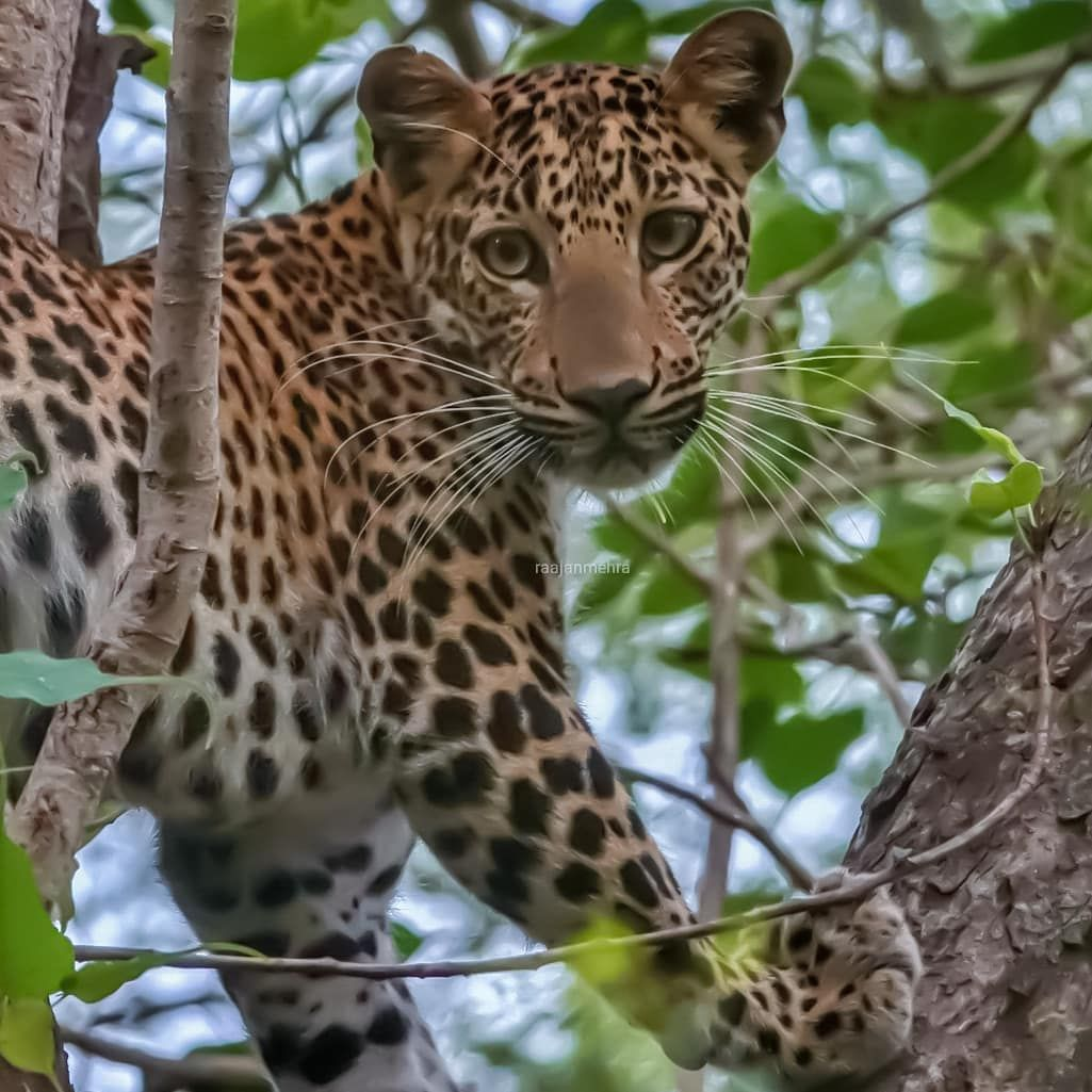 "Raajan Mehra 🐾 on Instagram: ""😍😍 #leopard #leopards #leopardsofinstagram #bigcat #photowalkglobal #yourvisualdiarys #yourshotphotographer #natgeoyourshot #ourfotoworld…"""