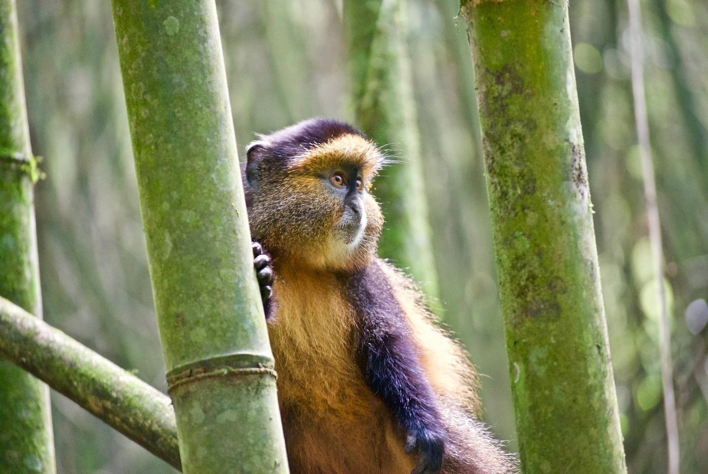 A Golden Monkey in Volcanoes National Park Rwanda [OC My