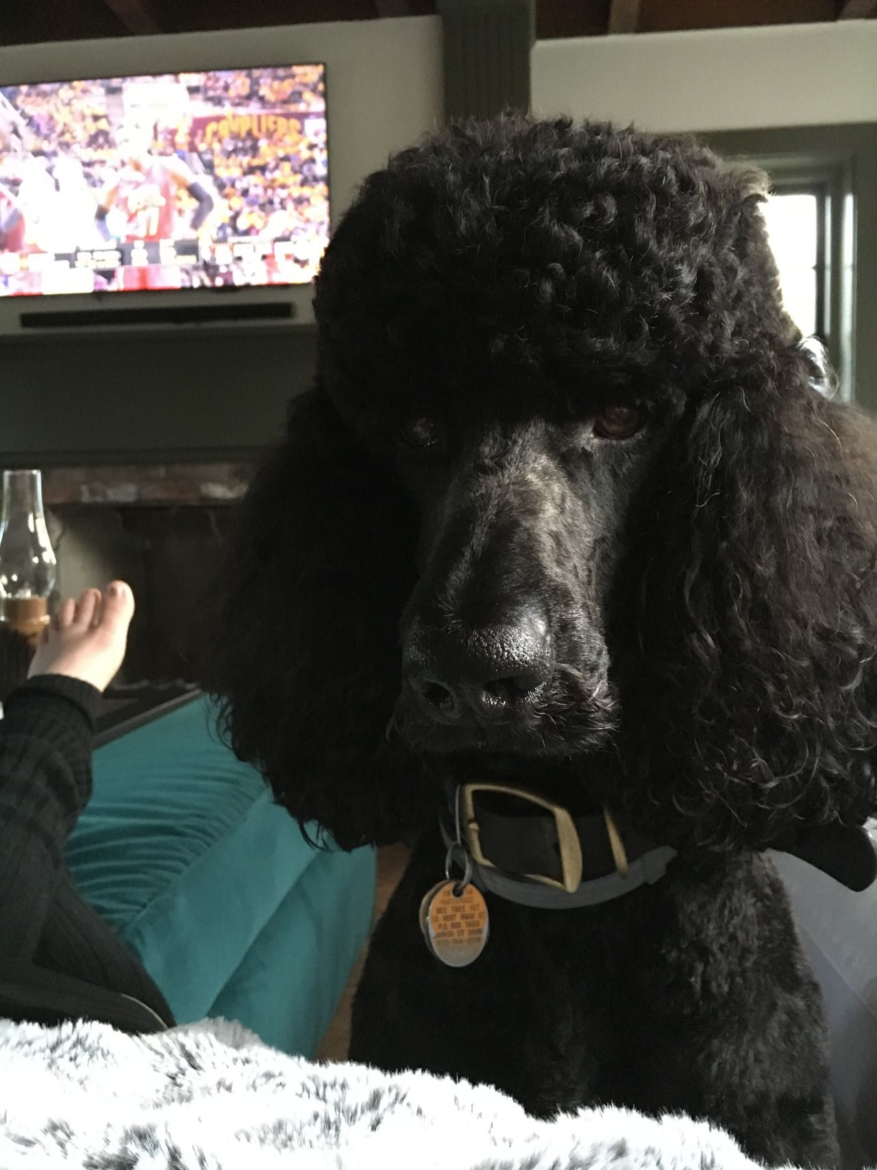 Standard Poodle Love Ok Basketball Is Fine But What About My