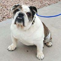 Bulldogrescueofarizona Com Mesa Az Bulldog Rescue French Bulldog Dogs