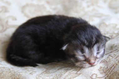 Available Siberian Kittens Siberian Kittens Siberian Cats For Sale Dancing Cat