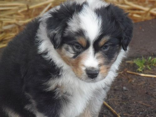 Mini Aussies Oregon City Shepherd Portland Sale Breeder Puppies