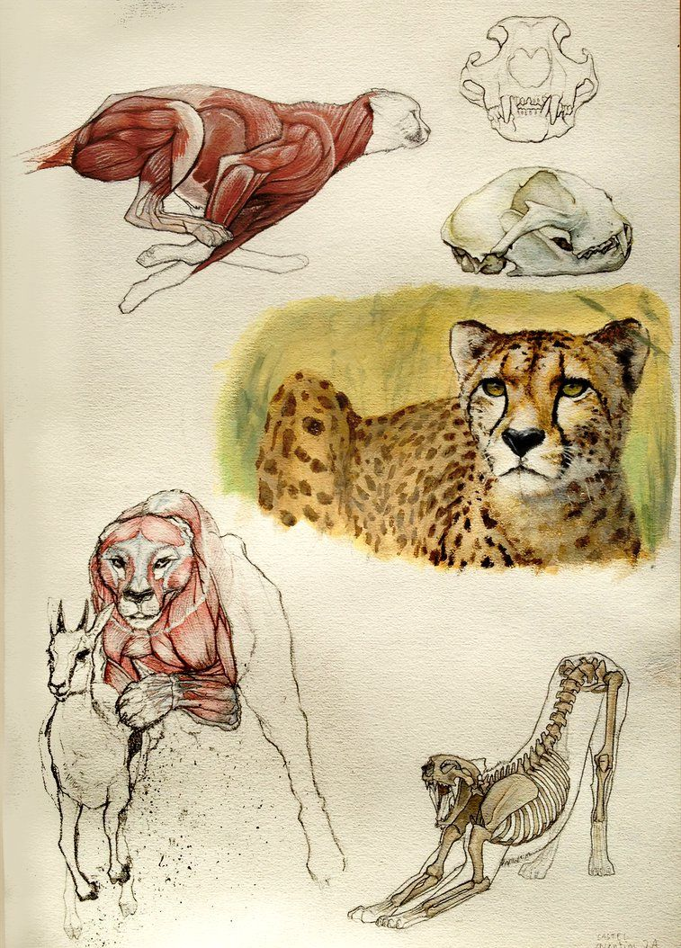 Cheetah anatomy by Quentinvcastel on DeviantArt | Draw | Pinterest ...