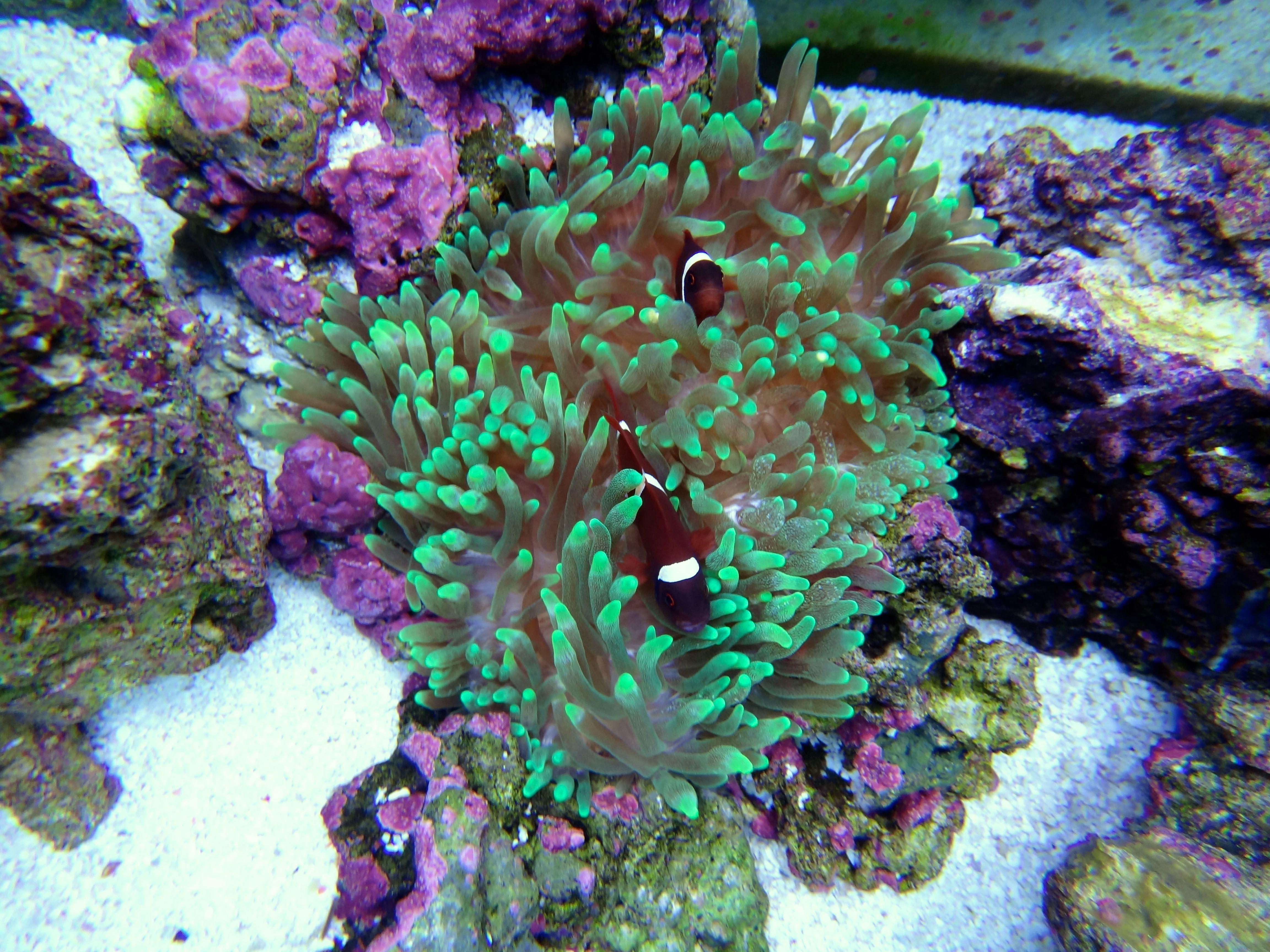 Maroon clownfish and anemone Ryan's birthday present