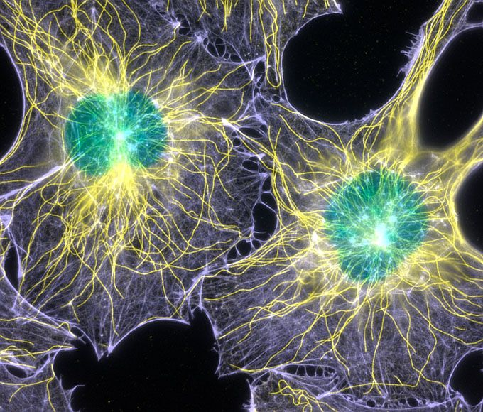 2003: Filamentous actin and microtubules (structural proteins) in mouse fibroblasts (cells) (1000x), Fluorescence. / Torsten Wittmann, The Scripps Research Institute. Courtesy of Nikon Small World.