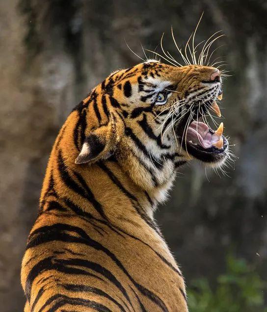ranyamir on Big cats, Animals beautiful, Pet tiger