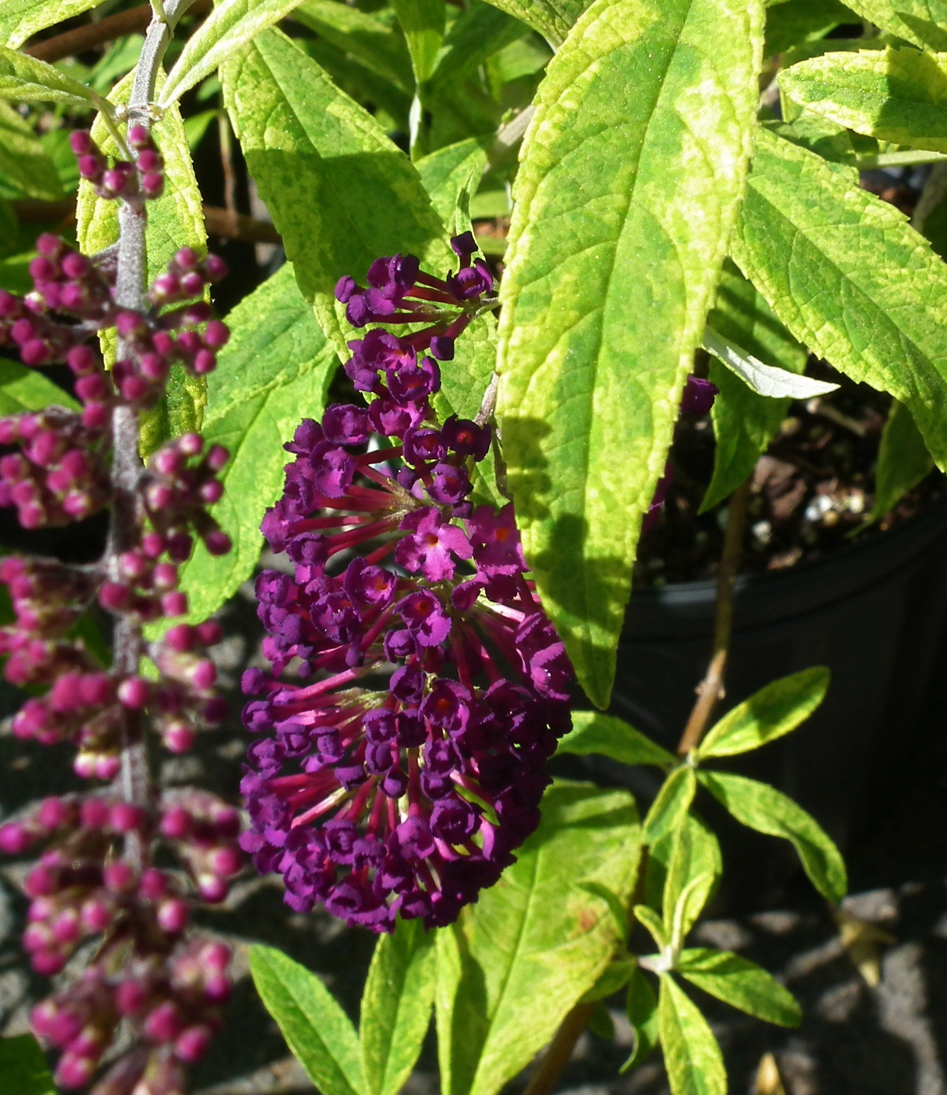 The Santana Butterfly Bush Is A Show Stopper Among Pretty Butterfly Attracting Shrubs Not Only Does This One Have Amazing Butterfly Bush Purple Flowers Plants