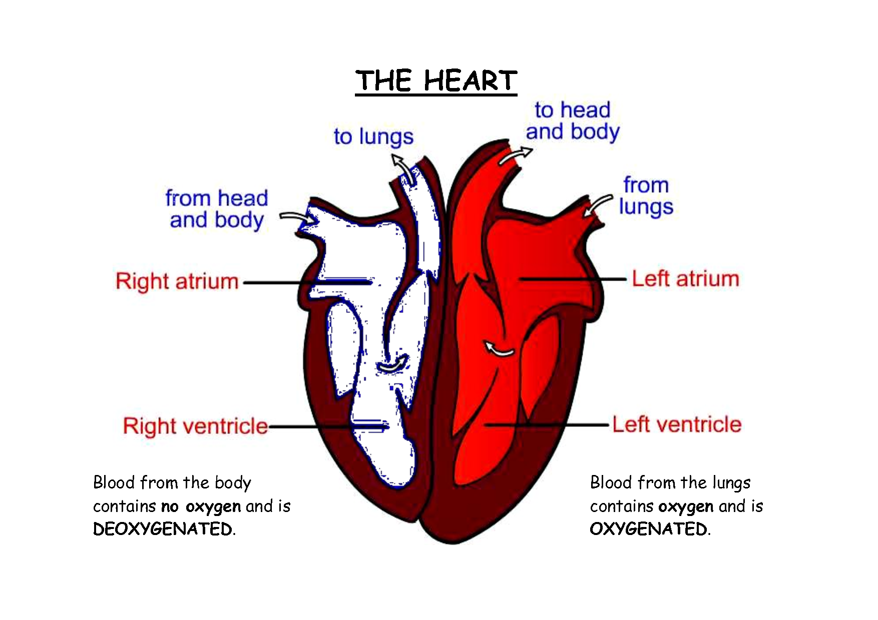 heart diagram labeled | Related Pictures human heart ...