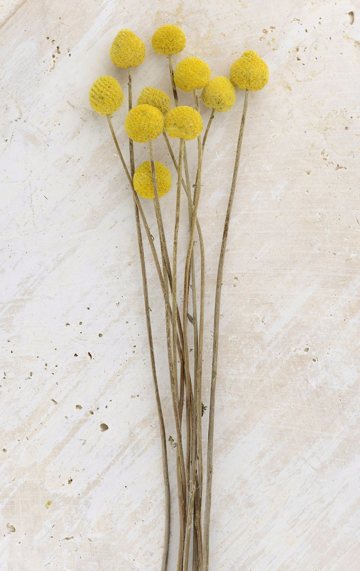 Preserved Billy Ball Flowers Billy Buttons Flowers How To Preserve Flowers