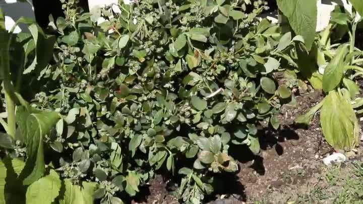 Video How To Plant Blueberry Bushes In A Perennial Garden