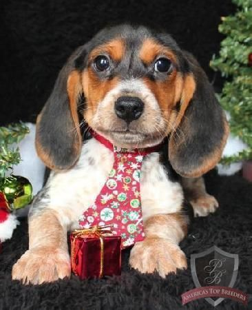 A Puppy In A Christmas Tie So Cute