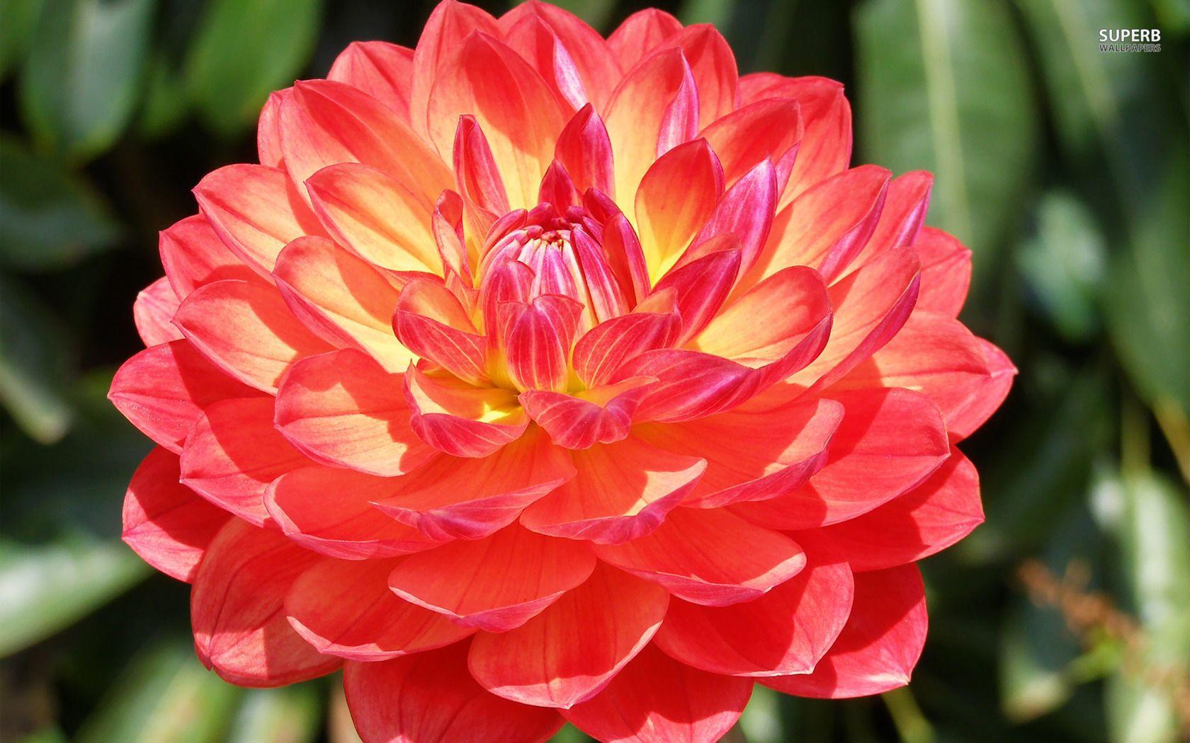 Beautiful Flowers Dahlia Beautiful Flowers Names Red Beautiful