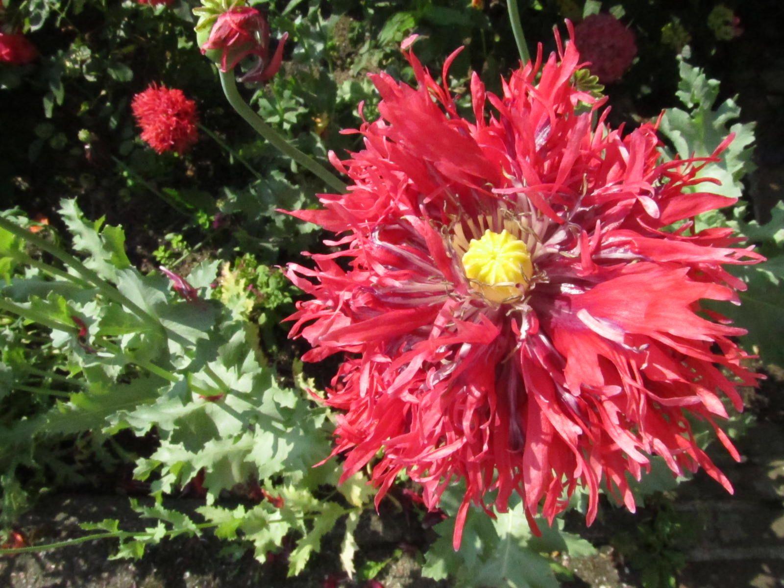 Moonflower poppies