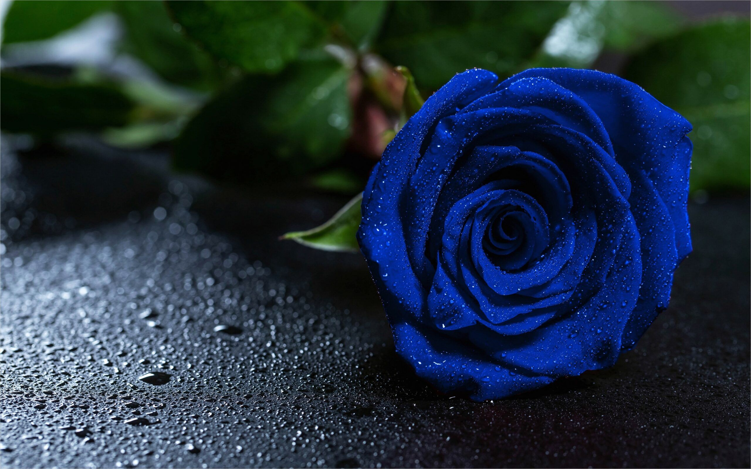 4k Blue Rose Wallpaper In 2020 Blue Roses Wallpaper Rose Wallpaper Rose
