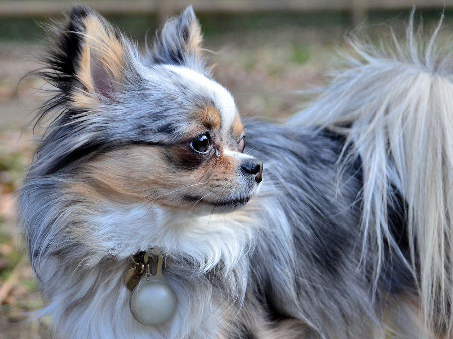 Merle Longhair Chihuhua Chihuahua Breeds Merle Chihuahua