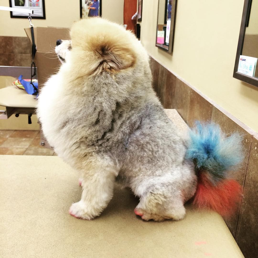 Gave Mr. Bubbles a fresh cut and color for the holiday #merica #doggrooming