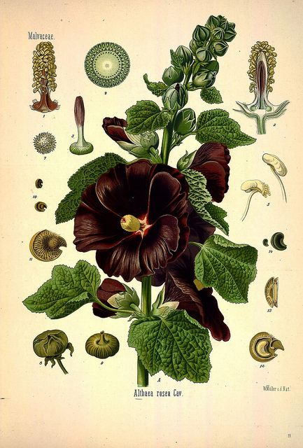 Köhler's Medizinal-Pflanzen in naturgetreuen Abbildungen mit kurz erläuterndem Texte v.1