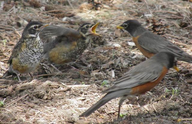 Feeding baby robins.