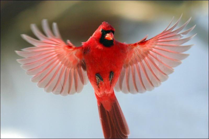 Cardinal Rouge Beautiful Birds Cardinal Birds Wild Birds