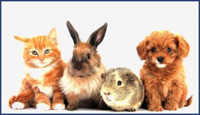 Grumpy Cat Breed Kittens | Pet Animals Photos | Grumpy cat ...