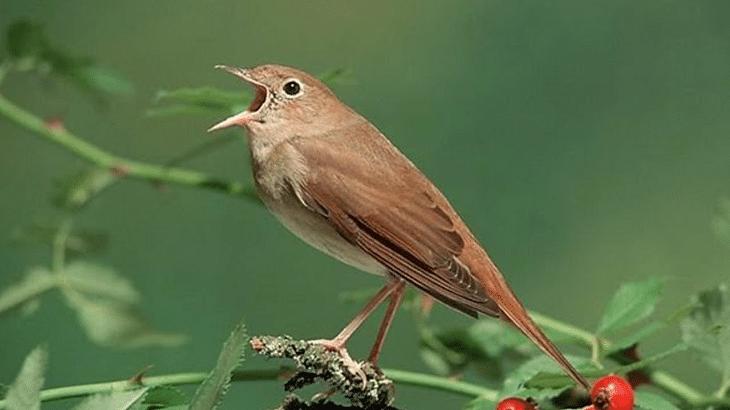 Ud Jalak Suren Klaten Burung Sikatan Jalak Burung