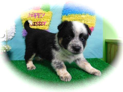 Blue Healer Border Collie Mix Puppy For Sale In Hammond In Adn