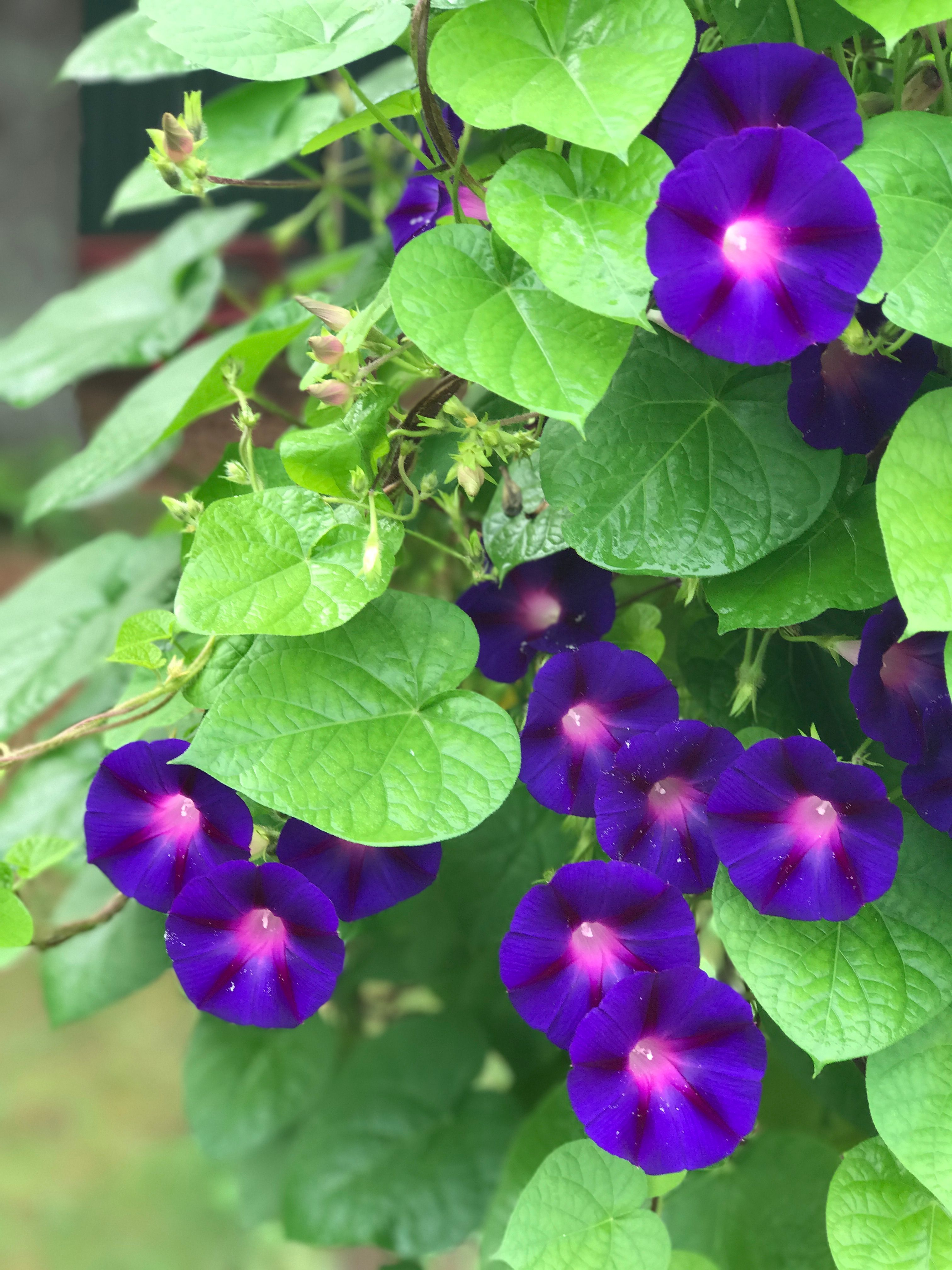 The Classic Morning Glory Grandpa Ott Is Gorgeous With A Deep Velvety Purple Flower With A Dark Pink Star And A Garden Seeds Flowering Vines Purple Flowers