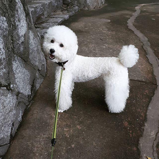 모닝산책~♬ . . . #설탕 #sultang #탕나니 #내아들 #반려견 #푸들 #화이트푸들 #poodle #whitepoodle #miniaturepoodle #poodlestagram #poodlelove #puppy #dog #dogstagram #愛犬 #いぬ #犬 #プドル #daily #일상 #멍스타그램 #개스타그램 #푸들스타그램 #개린이 #멍멍 #🐶
