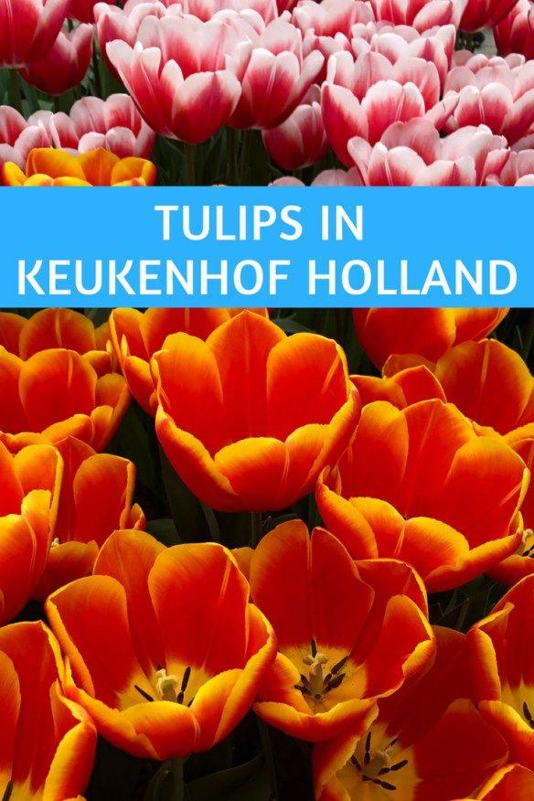 Spring Fling Tulips in Keukenhof Netherlands - Travel Guide